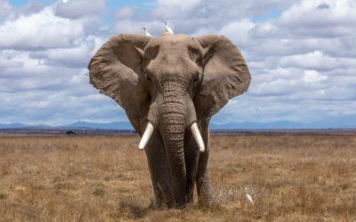 Lo que no sabías sobre el olfato de los elefantes